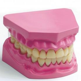 Dantų sąkandžio modelis